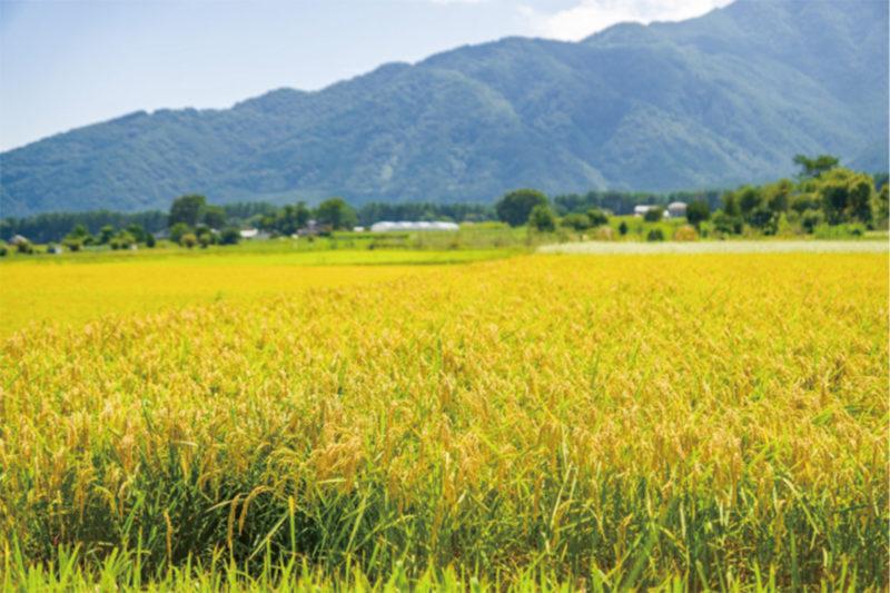 イエステーション愛媛総合センター|黄金の稲穂